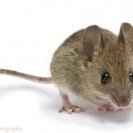 Yellow-necked Mouse (Apodemus flavicollis) juvenile