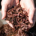 composting-with-worms